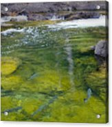 Spawning Salmon Acrylic Print