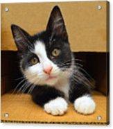 Special Delivery Tuxedo Kitten Acrylic Print