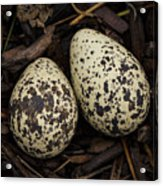 Speckled Killdeer Eggs By Jean Noren Acrylic Print