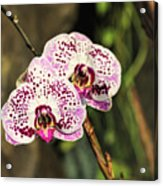Speckled Orchids Acrylic Print