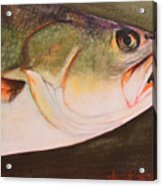 Speckled Trout Acrylic Print by Amanda Ladner