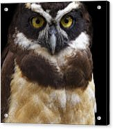 Spectacled Owl Acrylic Print