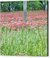 Spellbound By Indian Paint Brush. Acrylic Print
