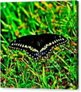 Spicebush Swallow Tail Acrylic Print