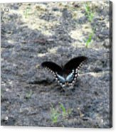 Spicebush Swallowtail 2 Acrylic Print