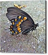 Spicebush Swallowtail Butterfly Female - Papilio Troilus Troilus Acrylic Print
