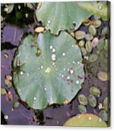 Spider And Lillypad Acrylic Print