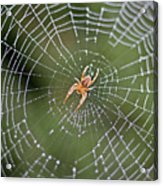 Spider In A Dew Covered Web Acrylic Print