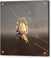 Spider In Wait Acrylic Print