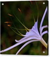 Spider Lilly Blue Acrylic Print by Susanne Van Hulst