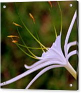 Spider Lilly Flower 2 Acrylic Print