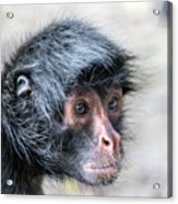Spider Monkey Face Closeup Acrylic Print