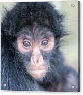 Spider Monkey Face Acrylic Print