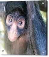 Spider Monkey Vertical View Acrylic Print
