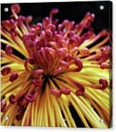 Spider Chrysanthemum Acrylic Print