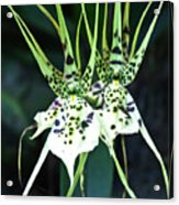Spider Orchid Brassia Acrylic Print