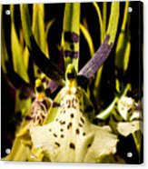 Spider Orchid Acrylic Print
