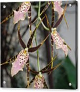 Spider Orchids Acrylic Print