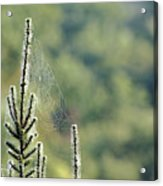Spider Silk Acrylic Print