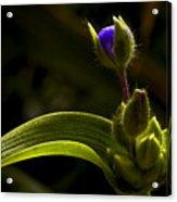 Spiderwort Bud Acrylic Print