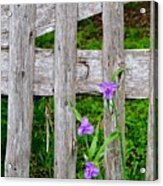 Spiderworts By The Gate Acrylic Print