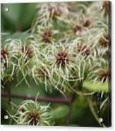 Spidery Flowers Acrylic Print