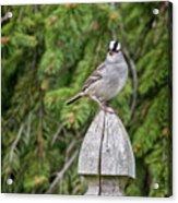 Spiffy Sparrow Acrylic Print