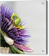 Spikey Passion Flower Acrylic Print