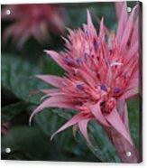 Spiky Pink Acrylic Print