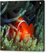 Spinecheek Anemonefish, Great Barrier Reef Acrylic Print
