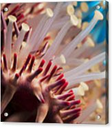 Spines Of A Crown Of Thorns Starfish Acrylic Print