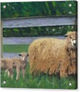 Sping Lambs Acrylic Print