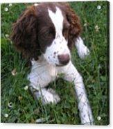 Spinger Spaniel Pup Acrylic Print