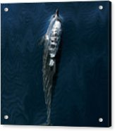 Spinner Dolphin Acrylic Print