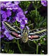Spinx Moth Acrylic Print