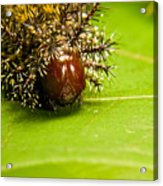 Spiny Larvae Acrylic Print