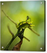 Spiny Oak Slug Moth 1 Acrylic Print