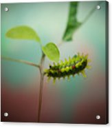 Spiny Oak Slug Moth 3 Acrylic Print
