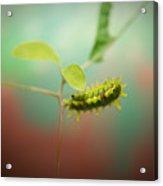 Spiny Oak Slug Moth 4 Acrylic Print