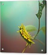 Spiny Oak Slug Moth 5 Acrylic Print