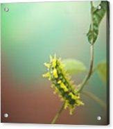 Spiny Oak Slug Moth 6 Acrylic Print