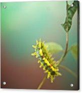 Spiny Oak Slug Moth 7 Acrylic Print