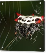 Spiny Orb Weaver Acrylic Print