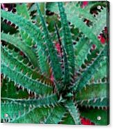 Spiral Cactus Acrylic Print
