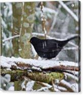 Splash. Eurasian Blackbird Acrylic Print