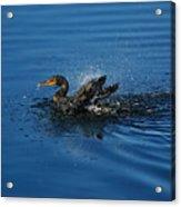 Splashing Cormorant Acrylic Print