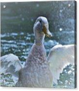 Splashing Duck Acrylic Print