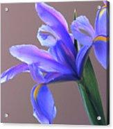 Splendid Iris Acrylic Print