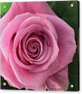Splendid Rose Acrylic Print