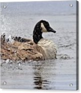 Splish Splash - Canada Goose Acrylic Print